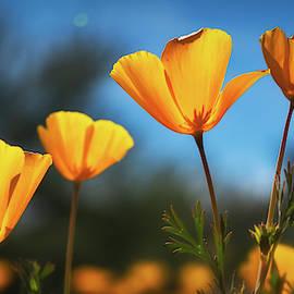 Poppies In The Sun  by Saija Lehtonen