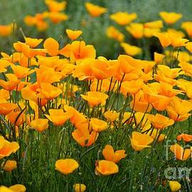 Poppies Pageantry  by Janet Marie
