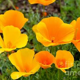 Poppies Radiance by Janet Marie