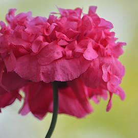 Poppy Go Lightly by Richard Andrews