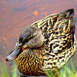Stamp City - Portrait of a Duck