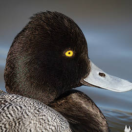 David Cutts - Portrait of a Greater Scaup