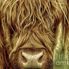 Portrait Of A Highland Cow In Black Gold by Maria Gaellman