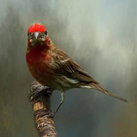 Portrait of a House Finch by Cathy Kovarik
