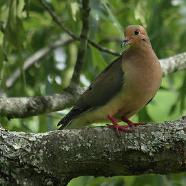 Portrait of a Mourning Dove by Stamp City