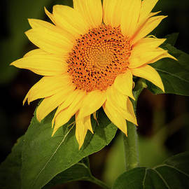 Portrait of a Sunflower by Sabrina L Ryan