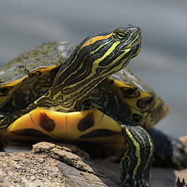 Portrait Of A Turtle by David Cutts