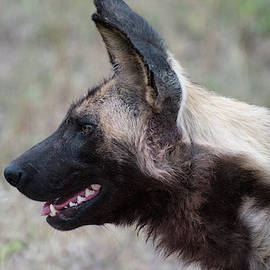 Portrait Of An African Wild Dog by Mark Hunter