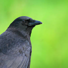 Portrait Of An American Crow by Sharon Talson
