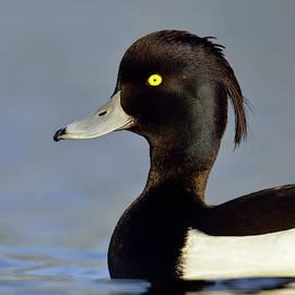 Wonderfulearth - Portrait... Tufted Duck, Aythya fuligula