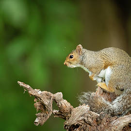 Posing Eastern Gray Squirrel by Todd Henson