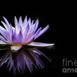 Powerful Purple Water Lily by Sabrina L Ryan