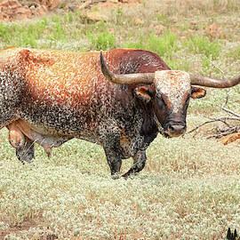 Prairie Longhorn by David Cutts