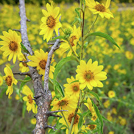 Sunflowers in the Hill Country by Lynn Bauer