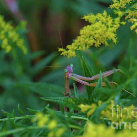 Praying Mantis by Dale Kohler