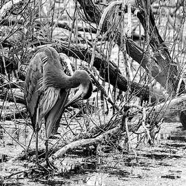 Norman Johnson - Preening Great Blue BW