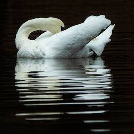 Mary Ann Artz - Preening Mute Swan