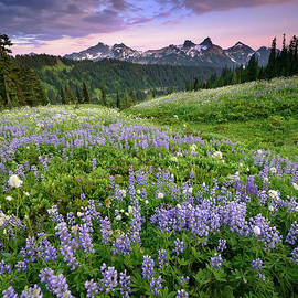 Purple Lupine Wildflowers at Sunset in Mount Rainier National Park by Tom Schwabel