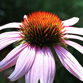 Pretty Pink Coneflower by Trina Ansel