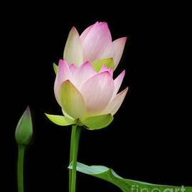 Pretty Pink Spring Lotus by Sabrina L Ryan