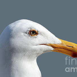 Pretty Western Gull in Profile by Susan Wiedmann