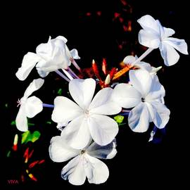 Pretty White Plumbago by VIVA Anderson