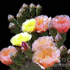 Prickly Pear Cactus Flowers - Yesterday And Today by Douglas Taylor