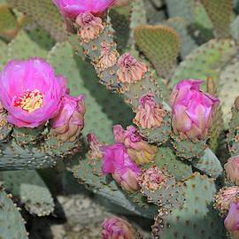 Prickly Pear Profusion 3 by Lynda Lehmann