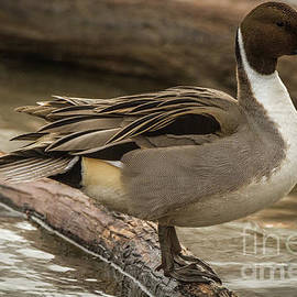David Cutts - Princely Pintail