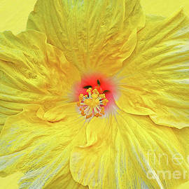 Pristine Hibiscus Bloom, yellow bkgrd by Banyan Ranch Studios