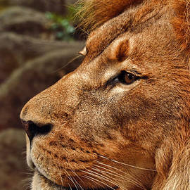 Profile Portrait of the King of the Jungle by Jim Fitzpatrick