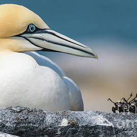 Proflie of a Gannet by Libby Lord