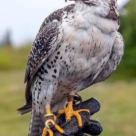Proud Prairie Falcon by Alma Danison