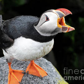Puffin Calling by Amy Porter