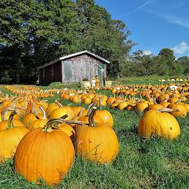 Pumpkin Patch by Carol McGrath