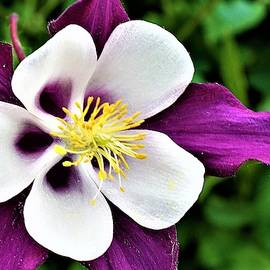 Purple and White Columbine Blossom by Bruce Bley