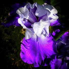 Purple and White Iris by David Patterson