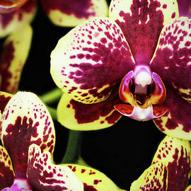 Purple and Yellow Orchid-5 by Rudy Umans