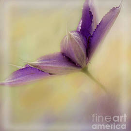 Purple Clematis-no Text by Pam  Holdsworth
