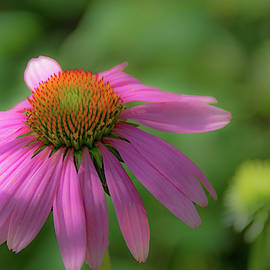Purple Coneflower by Lucy Banks