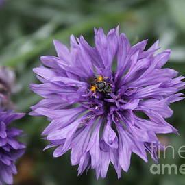 Purple Cornflower by Julie Kindt