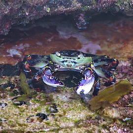 Alexey Dubrovin - Purple crab