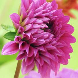Purple Pink Dahlia by Kim Tran