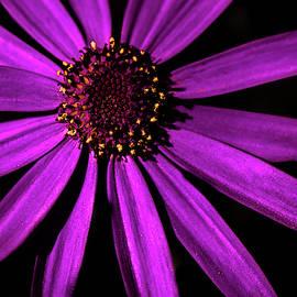 Purple Daisy on Black by Garrick Besterwitch