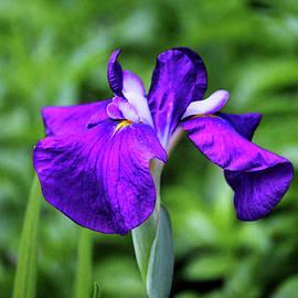 Purple Iris by Cynthia Guinn