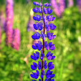 Purple Lupine Flower by Joann Vitali