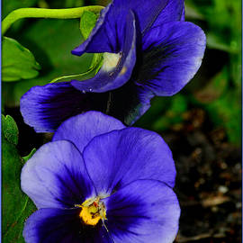 Purple Pansies by Constance Lowery