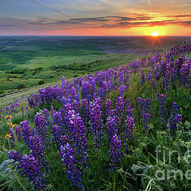 Purple Lupine Wildflowers at Sunset in the Palouse by Tom Schwabel