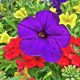 Purple Petunia by Allen Beatty