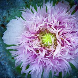 Purple Poppy by Jean Noren